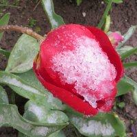 Тюльпан в снегу! :: Ирина Олехнович