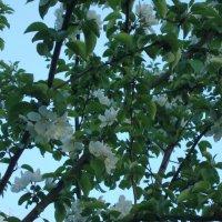 Яблони в цвету... :: марина ковшова