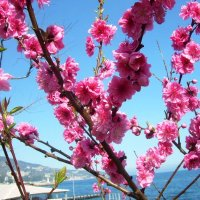 Цветение сакуры в Ялте :: татьяна