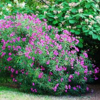 Цветущий кустарник ... :: Aleks Ben Israel