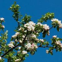 Яблоня цветёт... :: Irina-77 Владимировна