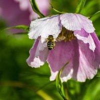 Села пчёлка на цветок :: Valentina M.