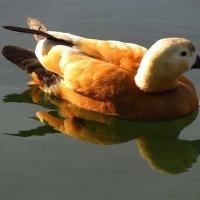 Долетели огари и до нашего пруда :: Андрей Лукьянов
