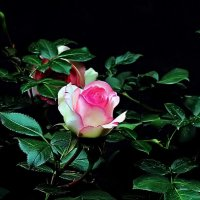 Роза плетистая Эден Роуз :: Александр Корчемный