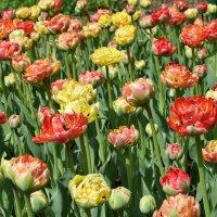 И снова тюльпаны. :: Татьяна Помогалова