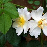 Белый шиповник :: Светлана