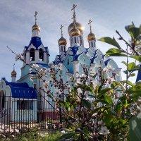 Отцветает вишня :: Александр Алексеев