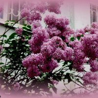 Сиреневая весна :: Нина Бутко