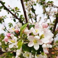 цветы яблони :: Юлия Паршакова