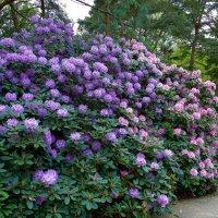 Роскошное цветение рододендрона :: Nina Yudicheva