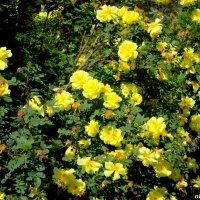 Жёлтые розы :: Нина Бутко