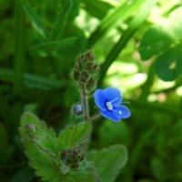 Синеглазый цветок :: Шура Еремеева