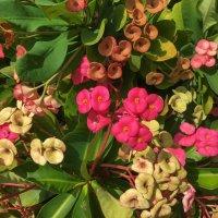 Цветы на Мальдивах. :: Татьяна Калинкина