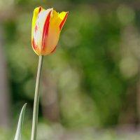 Из серии Тюльпаны. :: Евгений Голубев