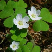 кислица цветет :: demyanikita
