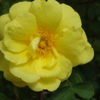 21 мая- Всемирный День Роз... :: Тамара (st.tamara)