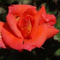21 мая-Всемирный День Роз... :: Тамара (st.tamara)