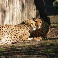 Эти пятнистые кошки – гепарды..... :: Galina Leskova