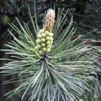 Pinus sylvestris :: Kliwo