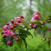 Майское цветение :: Наталья Rosenwasser