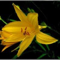 Начало цветения лилии :: Нина Корешкова