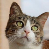 Взгляд. Кошка Бусинка. :: Ирина Горовик