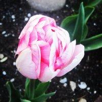 Нежный тюльпан :: татьяна