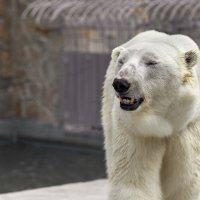 Белый мидведь :: олег