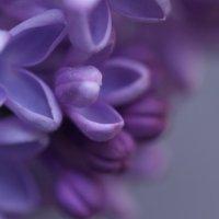 Сиреневая нежность :: Vik Fox