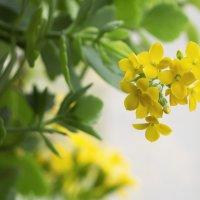 Жёлтый каланхоэ :: Aнна Зарубина