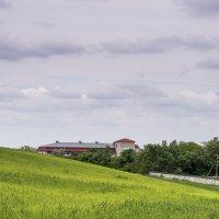 Пшеничное поле :: Игорь Сикорский