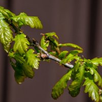 Молодые листья дуба. :: Анатолий. Chesnavik.