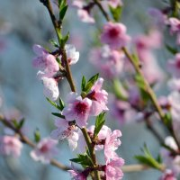Персика цвет :: Nina Streapan