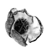 Арктический Мак, Черно-белый вариант :: Alexander Dementev