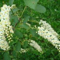 Белый цвет,черемухи цвет... :: марина ковшова