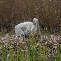 Рождение лебедят :: Viktor Makarov