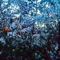Ночь Май Вишня в цвету! :: Михаил Столяров