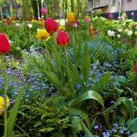Тюльпаны нашего двора(23.05.2017)... :: Sergey Gordoff