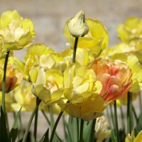 Тюльпаны в (Собственном садике) :: Алексей Цветков