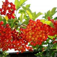 калина красная ягода :: Юрий