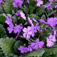 Расцвели весной в саду цветочки ! :: Мила Бовкун