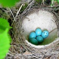 Гнездо певчего дрозда :: Игорь