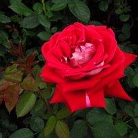 Разные розы :: Андрей Лукьянов