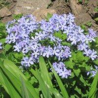 Голубые цветики :: Дмитрий Никитин