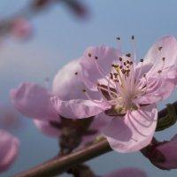 Цветущий персик. :: Светлана Риццо