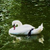 Есть птица красивая очень на свете, название — лебедь... :: Galina Leskova