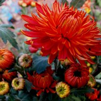 Цветы Осени :: Дина Дробина