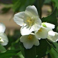 Зацвёл жасмин в моём саду... :: Татьяна Смоляниченко
