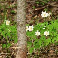 А в лесу всё ещё цветут ветреницы :: Татьяна Ломтева