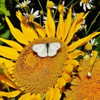 Подсолнух с бабочкой :: Валентина Пирогова